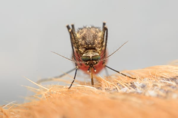 moustique-Aedes-aegypti